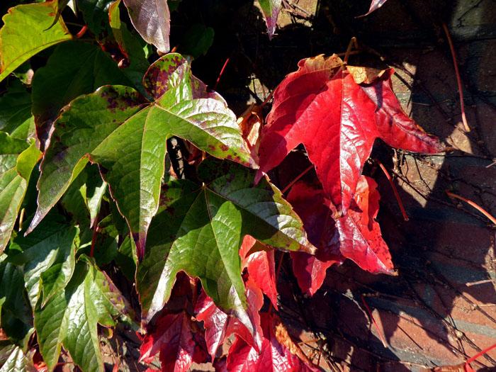 Foto van groene en rood verkleurde bladeren