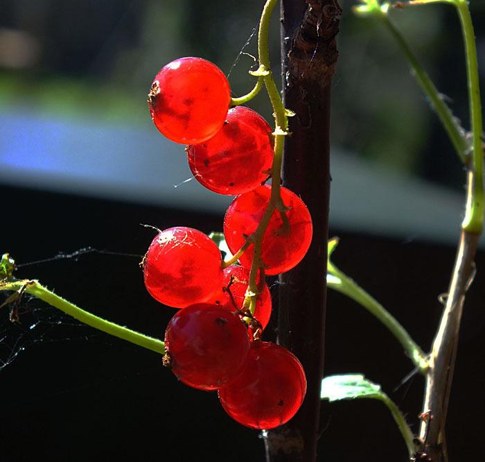 Foto van rode bessen in tegenlicht