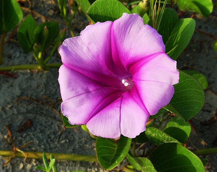 Foto van roze bloem op het strand