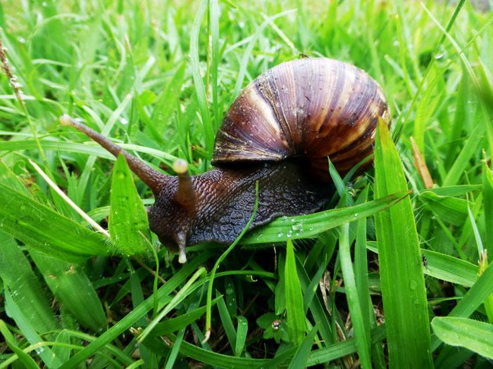 Foto van huisjesslak in het gras