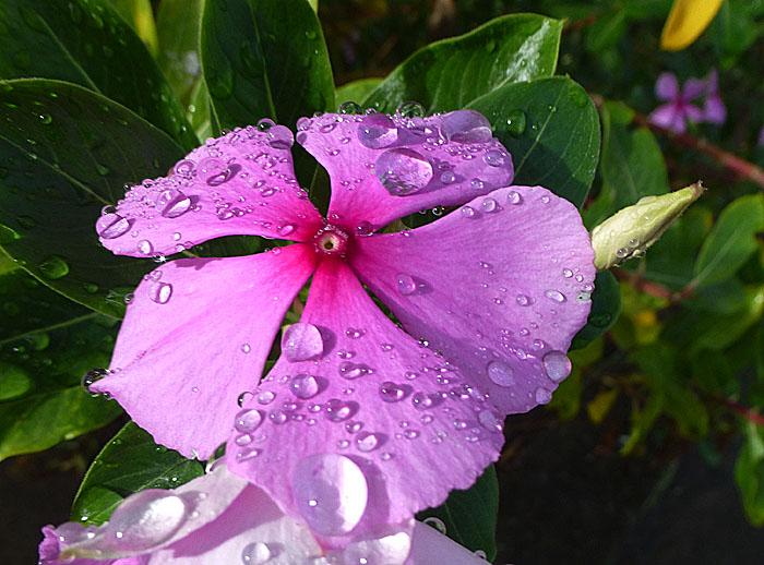 Foto van roze bloem met grote druppels
