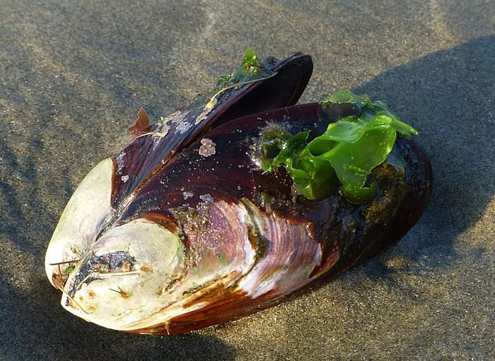 Foto van mosselschelp op het strand