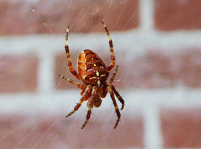 Foto van roodbruine spin