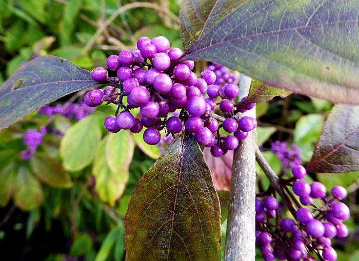 Foto van paarse bessen tussen groen