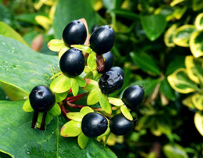 Foto van zwarte bessen tussen groen blad