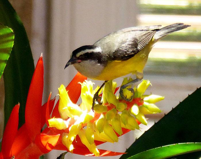 Foto van geel-zwart vogeltke op rood-gele bloem