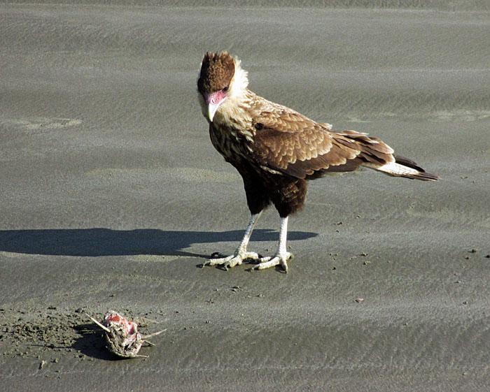 Foto van roofvogel, die verlangend kijkt naar dode vis