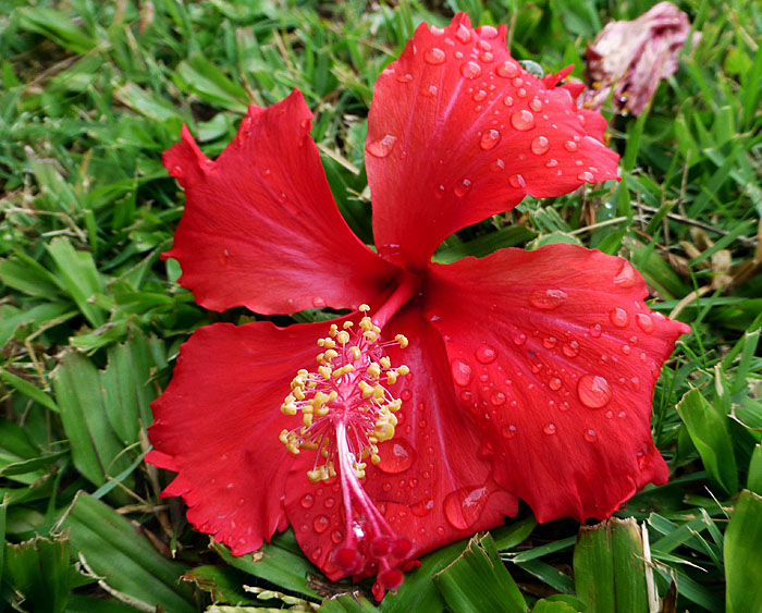 Foto van rode hibiscusbloem in het gras na regenbui