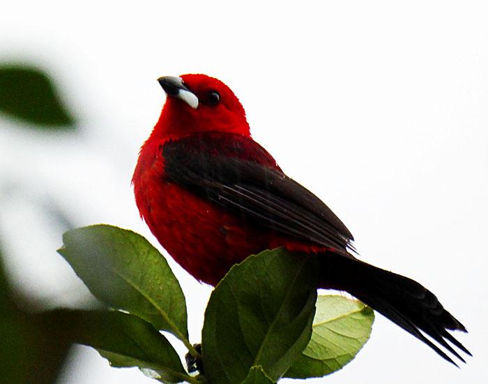 Foto van rode vogel met zwarte vleugels