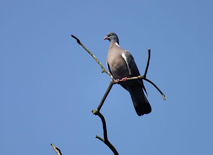 Foto van duif hoog op tak