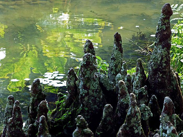 Foto van opstaande wortels aan de waterkant