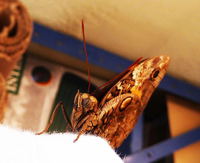 Foto van roodbruine vlinder