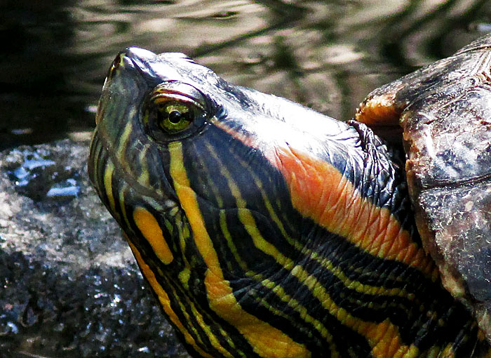 Foto van de kop van een schildpad