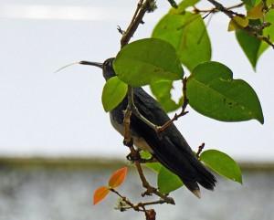 Foto van kolibrie, die zijn tong uitsteekt