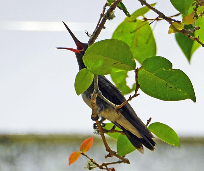 foto van kilibrie met opengesperde snavel