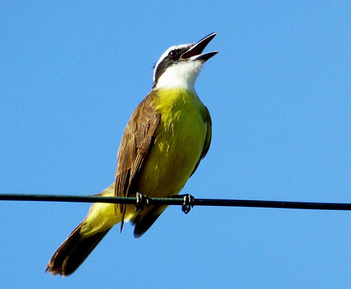 Foto van krijsende geel en bruine vogel