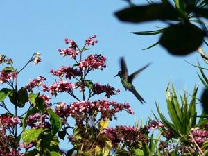 Kolibrie 'hangend' voor zijn maaltijd