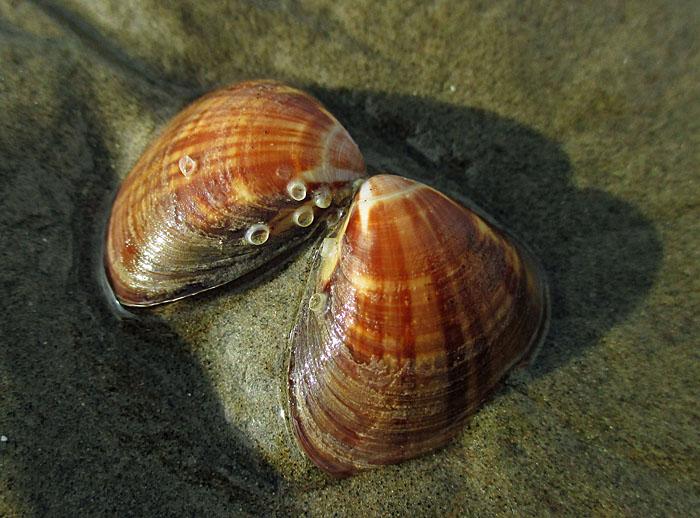 Foto van dubbele schelp op zand