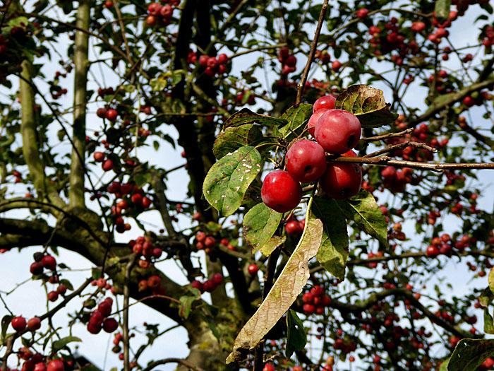 Foto van kersen aan boom