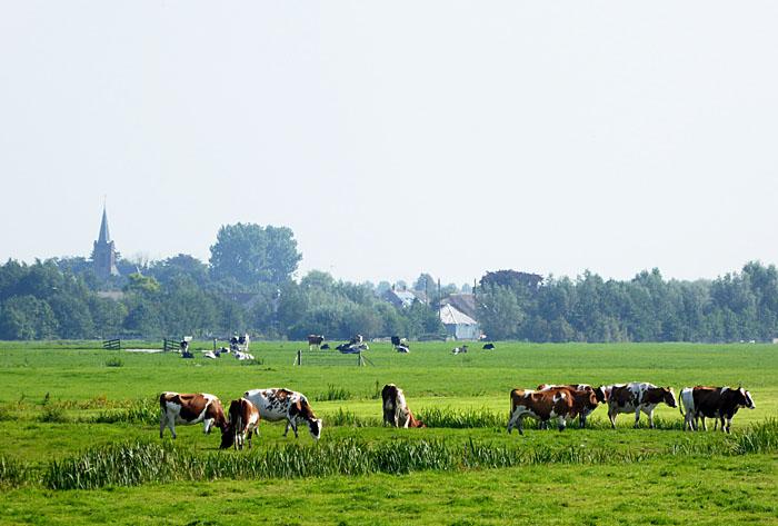 Foto van weiland met koeien en kerk