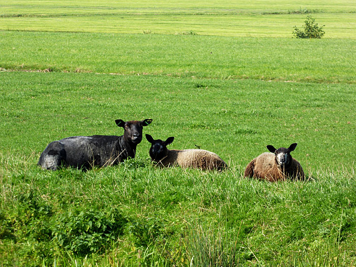 Foto van schapen op dijk naast weiland