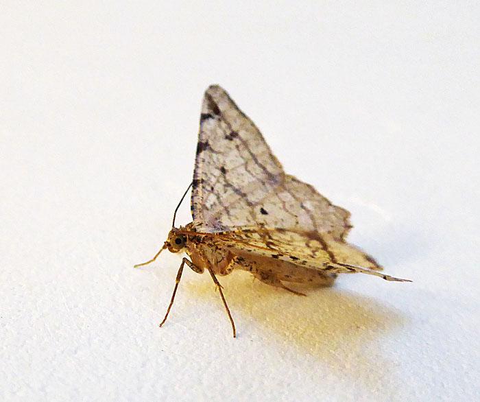 Foto van een nachtvlinder