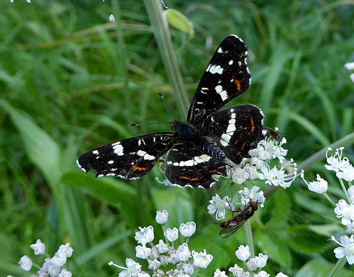 Foto van zwarte vlinder en vlieg op witte bloemen