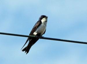 Foto van zwaluw op draad