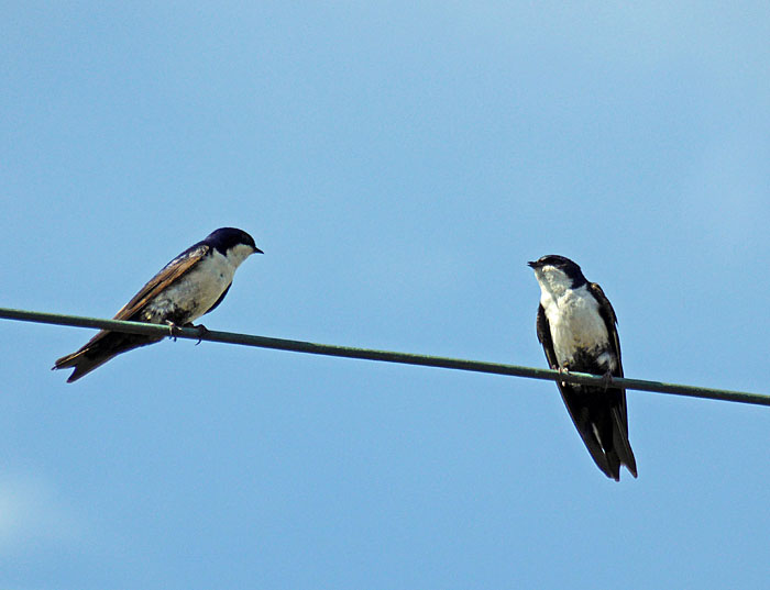 Foto van twee zwaluwen op draad