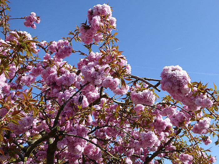 Foto van roze bloesem tegen blauwe lucht