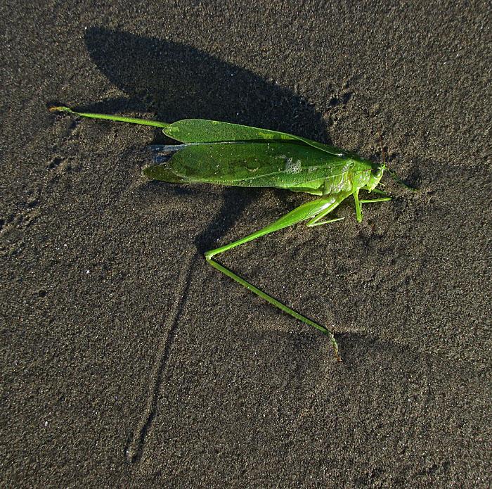 Foto van groene sprinkhaan op strand