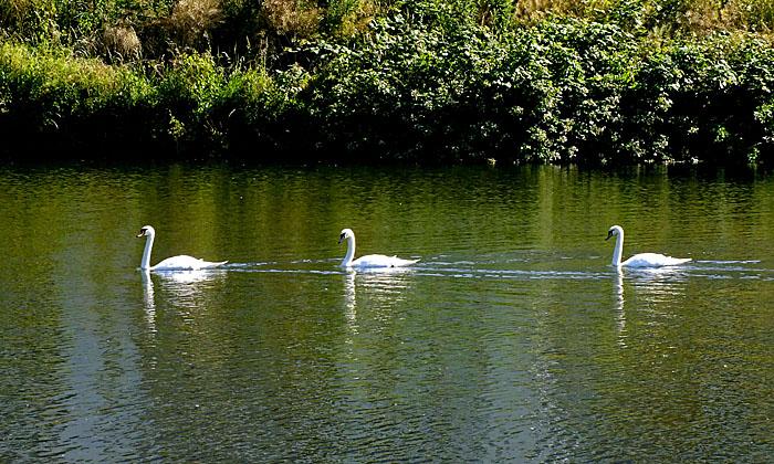 Foto van drie zwemmende zwanen
