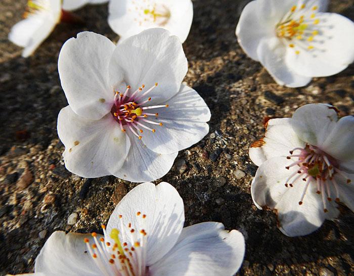 Foto van witte bloemetjes op straat