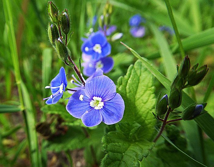 Foto van klein blauw bloemetje
