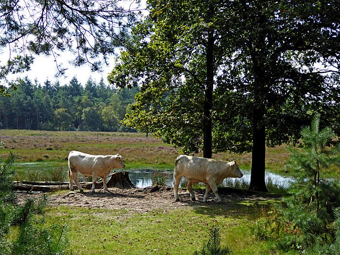 Foto van twee runderen op hei met bomen