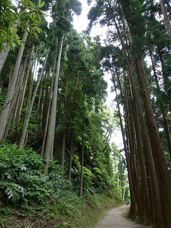 Foto van pad tussen hoge bomen