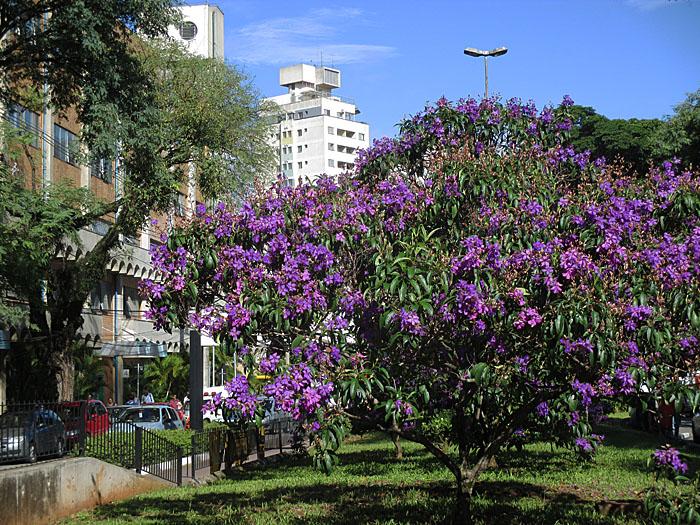 Foto van boom vol paarse bloemen
