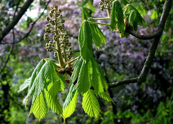 Foto van bladeren en knoppen van kastanje