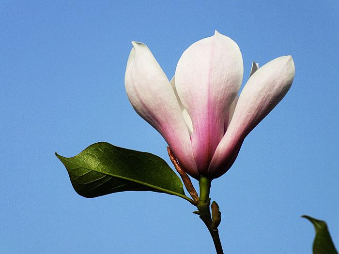 Foto van magnolia