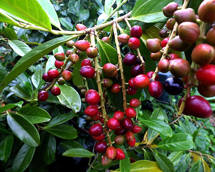 Foto van koffieplant met vruchten