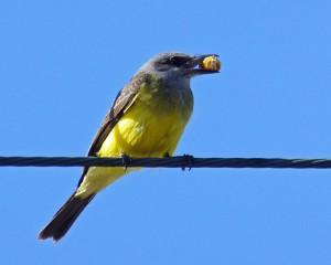 Foto van geelzwarte vogel met brok eten in snavel