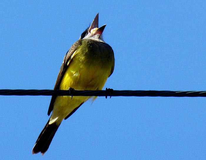 Foto van geelzwarte vogel die brok eten inslikt