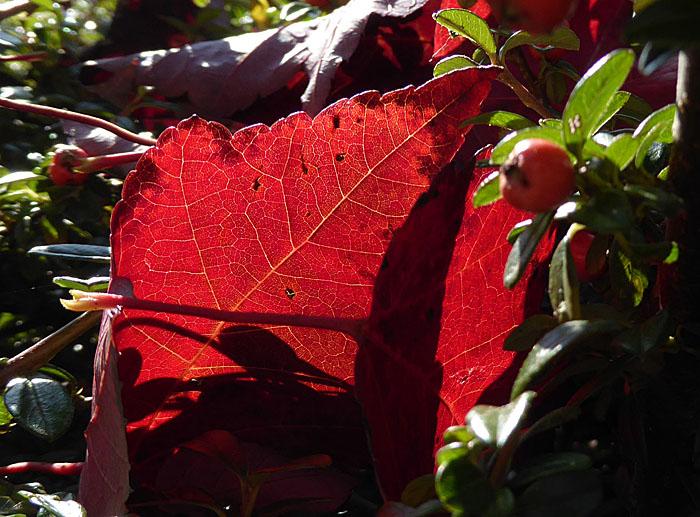 Foto van rood herfstblad in tegenlicht