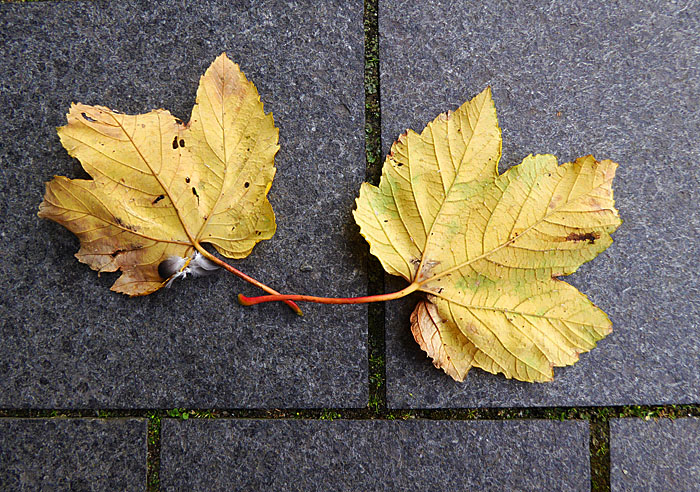 Foto van twee gele boombladeren op tegels