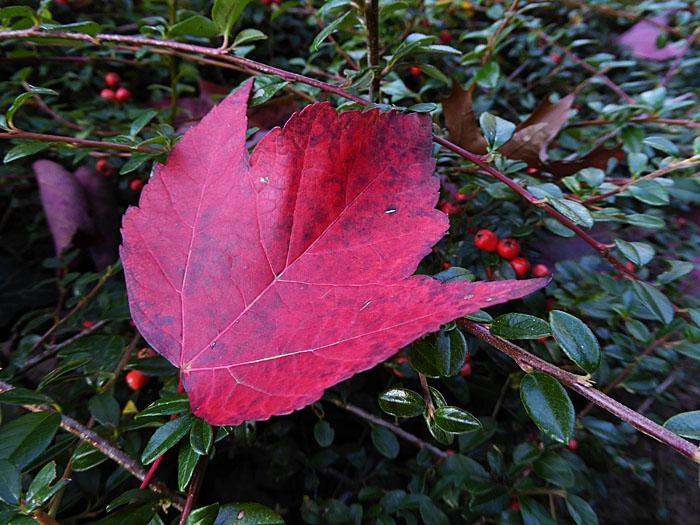 Foto van rood herfstblad op donkergroene struik