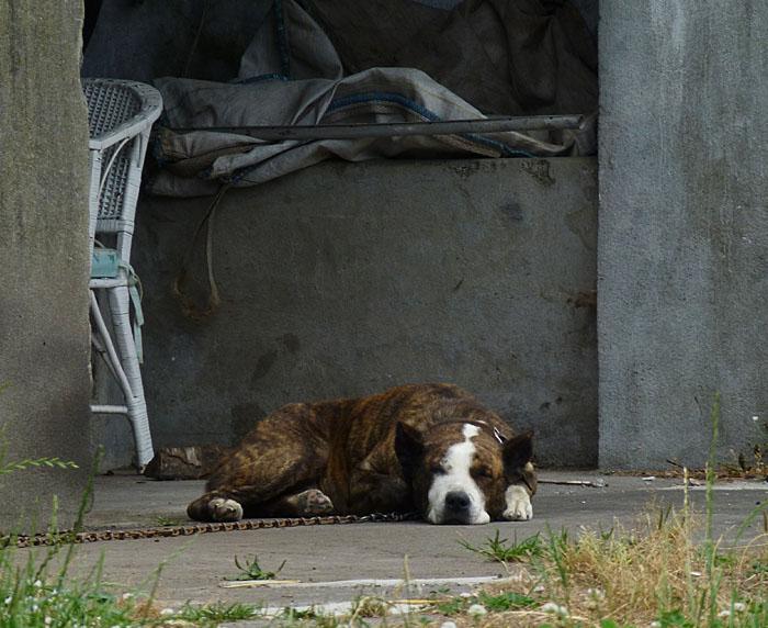 Foto van slapende kettinghond