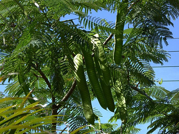 Foto van lange, groene peulen aan boom