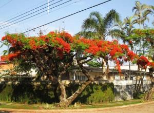 Foto van boom met rode bloemen (flamboyant)