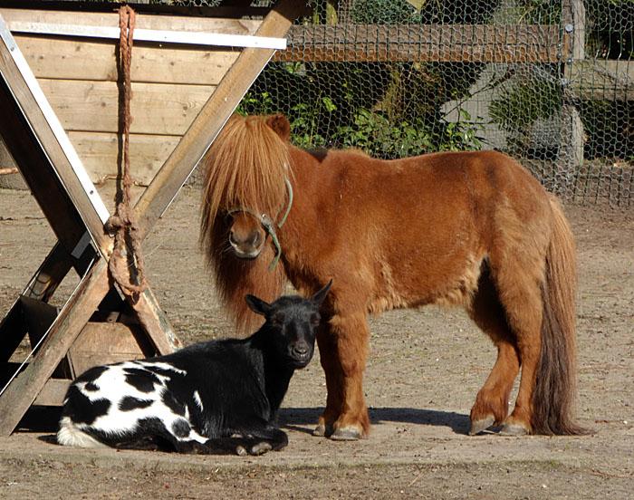 Foto van geit en pony