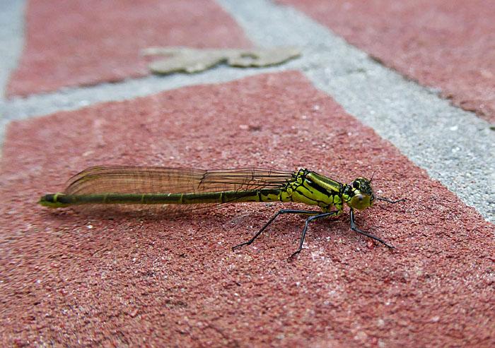Foto van groene libelle